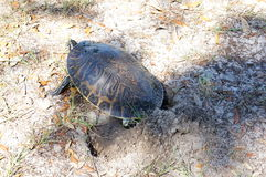Turtle Dig hole Royalty Free Stock Image