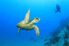 Turtle and Diver Stock Photos