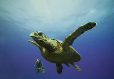 Turtle with diver Stock Photography