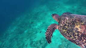 A turtle dives to catch the air. A turtle floats down into the deep water stock video