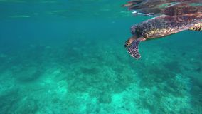 A turtle dives to get air stock video footage