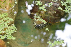 Turtle diving in pond Royalty Free Stock Photo