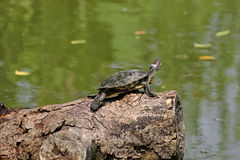 Turtle. The turtle is doing dry skin Stock Photos