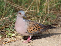 Turtle dove. European Turtle dove, Streptopelia turtur Stock Image