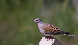 Turtle Dove. Is perching on piece of rock stock photos
