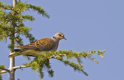 Turtle Dove. Is perching on piece of rock Royalty Free Stock Image