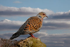 A Turtle Dove. Turtle Doves can be found in Southern and Central Europe. Two Turtle Doves feature in the song 'The Twelve Days of Christmas Stock Images