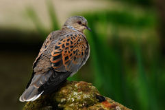 Turtle Dove. The Turtle Dove is mostly found in Southern and Central Europe. Turtle Doves feature in the song 'The twelve days of Christmas Stock Photo