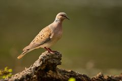 Turtle dove on a beautiful green background Streptopelia turtur.  Stock Images