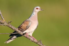 Turtle dove on a beautiful green background Streptopelia turtur.  Stock Image
