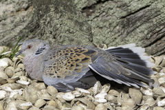 Turtle Dove bird basking on the seashore. Royalty Free Stock Image