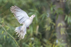 Turtle dove bird royalty free stock images