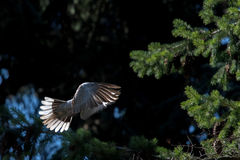 Turtle dove bird while flying from pine tree nest Stock Image
