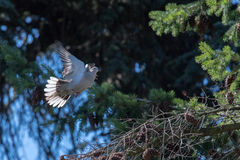 Turtle dove bird while flying from pine tree nest Royalty Free Stock Photography