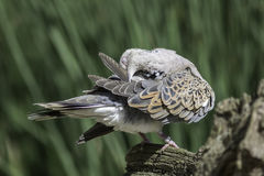 Turtle dove bird preening its feathers Royalty Free Stock Image