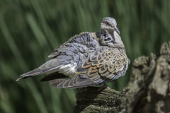 Turtle dove bird with ruffled feathers. European turtle dove (Streptopelia turtur) with ruffled plumage after preening. This species of bird is now included on Royalty Free Stock Photo