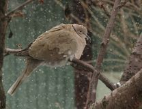 Turtle dove on a branch with snowflakes around Stock Images