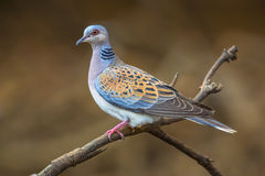 Turtle dove on branch Stock Images