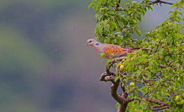 Turtle Dove Royalty Free Stock Images
