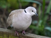 Turtle-dove closeup stock images