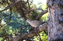 Turtle Dove. Dove standing on the branch of a fir tree and watch what happens Stock Image