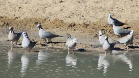 Turtle Dove Flock - Wild Birds from Africa - Power in Unity Stock Image