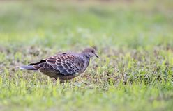 Turtle dove. On the grass for food mountain turtle dove Royalty Free Stock Photography