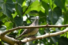 Turtle dove with grass stalk in beak Royalty Free Stock Photo