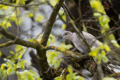 Turtle dove isolated while hiding on a tree Royalty Free Stock Photo