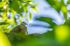 Turtle dove Stock Images