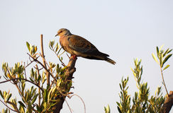 Turtle dove on olive branch Stock Photography