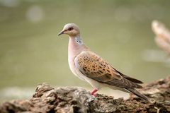 Turtle Dove On A Beautiful Green Background Streptopelia Turtur Stock Image