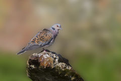 Turtle Dove. Standing on old iron Stock Photos