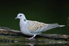 Turtle-Dove, Streptopelia turtur. Turtle-Dove on drinking pool near NP Horotbagy in Hungary Stock Photos
