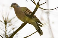Turtle dove Streptopelia turtur, kind of pigeon. Turtle dove Streptopelia turturs on a tree branch in the forest. Russia, Siberia, the Novosibirsk Region Stock Images