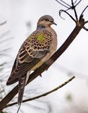 Turtle dove Streptopelia turtur, kind of pigeon. Turtle dove Streptopelia turturs on a tree branch in the forest. Russia, Siberia, the Novosibirsk Region Stock Photography
