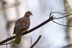 Turtle dove Streptopelia turtur, kind of pigeon. Turtle dove Streptopelia turturs on a tree branch in the forest. Russia, Siberia, the Novosibirsk Region Royalty Free Stock Photography