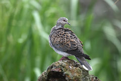 Turtle dove, Streptopelia turtur. On log Royalty Free Stock Images