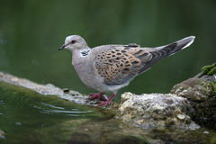 Turtle dove, Streptopelia turtur. On log Royalty Free Stock Photos