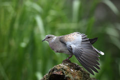 Turtle dove, Streptopelia turtur. On log Royalty Free Stock Image