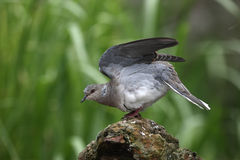 Turtle dove, Streptopelia turtur. On log Royalty Free Stock Photo
