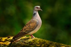 Turtle dove, Streptopelia turtur, Pigeon forest bird in the nature habitat, green background, Germany. Wildlife scene from green f. Orest Stock Image