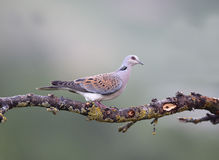 Turtle dove, Streptopelia turtur. Single bird on branch, Bulgaria, May 2013 Royalty Free Stock Photos