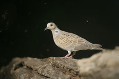 Turtle dove, Streptopelia turtur. Single bird on branch, Hungary Royalty Free Stock Image