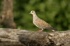 Turtle dove, Streptopelia turtur. Single bird on branch, Hungary Stock Image