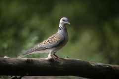 Turtle dove, Streptopelia turtur. Single bird on branch, Hungary Stock Images