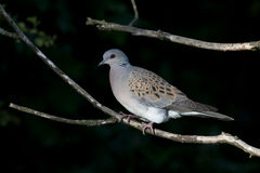 Turtle dove, Streptopelia turtur. Single bird on branch, Oxfordshire, June 2015 Royalty Free Stock Image