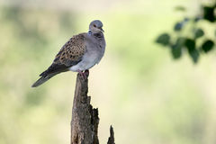 Turtle dove, Streptopelia turtur. Single bird on branch,    Romania, June 2016 Stock Image