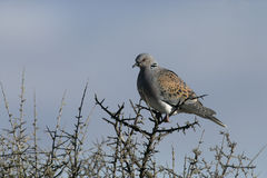 Turtle dove, Streptopelia turtur. Single bird on branch, Spain Stock Photos