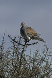 Turtle dove, Streptopelia turtur. Single bird on branch, Spain Royalty Free Stock Images